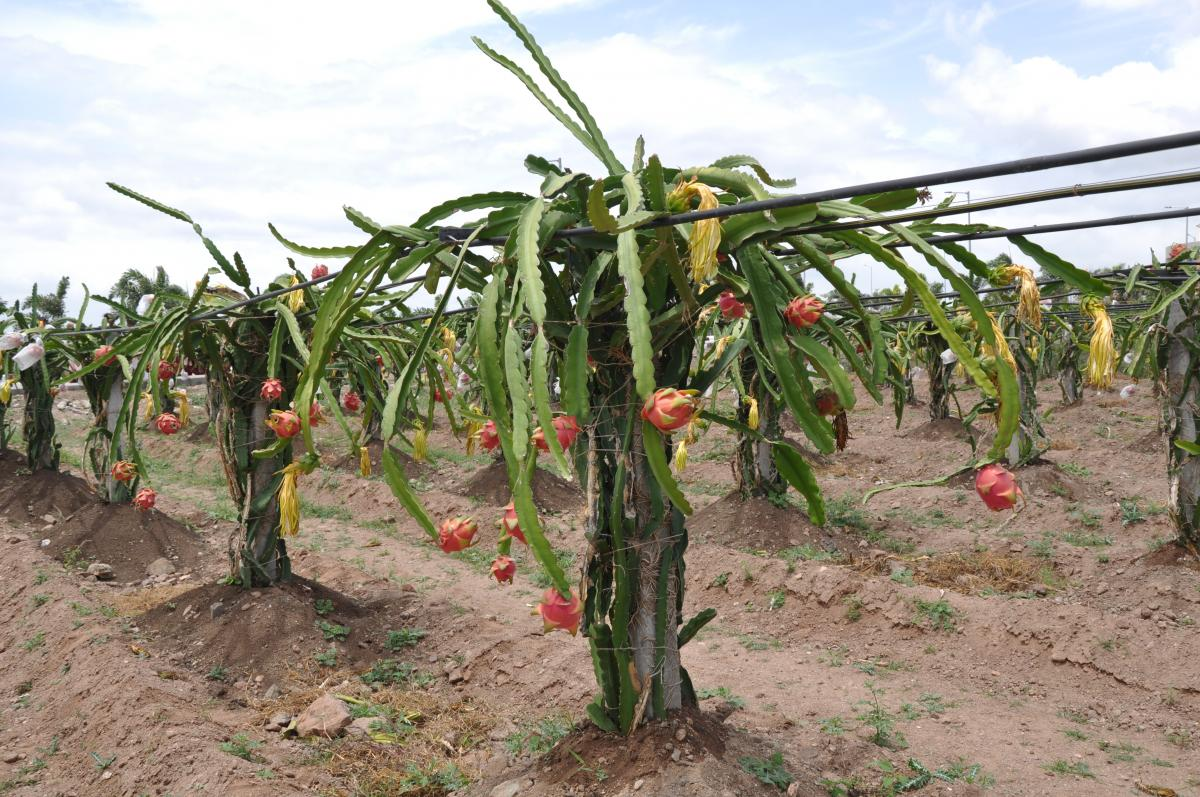 Dragon Fruit Crop